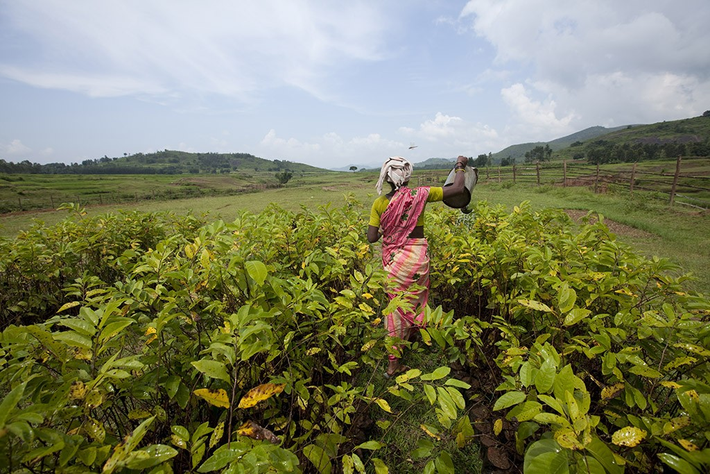 Financée par Danone et conçue avec l'aide de l'ONG indienne Naandi, la pépinière de Hukumpeta abrite des milliers de jeunes arbres fruitiers qui vont repeupler la vallée d'Araku.