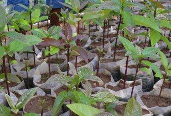 ARCOS nursery saplings