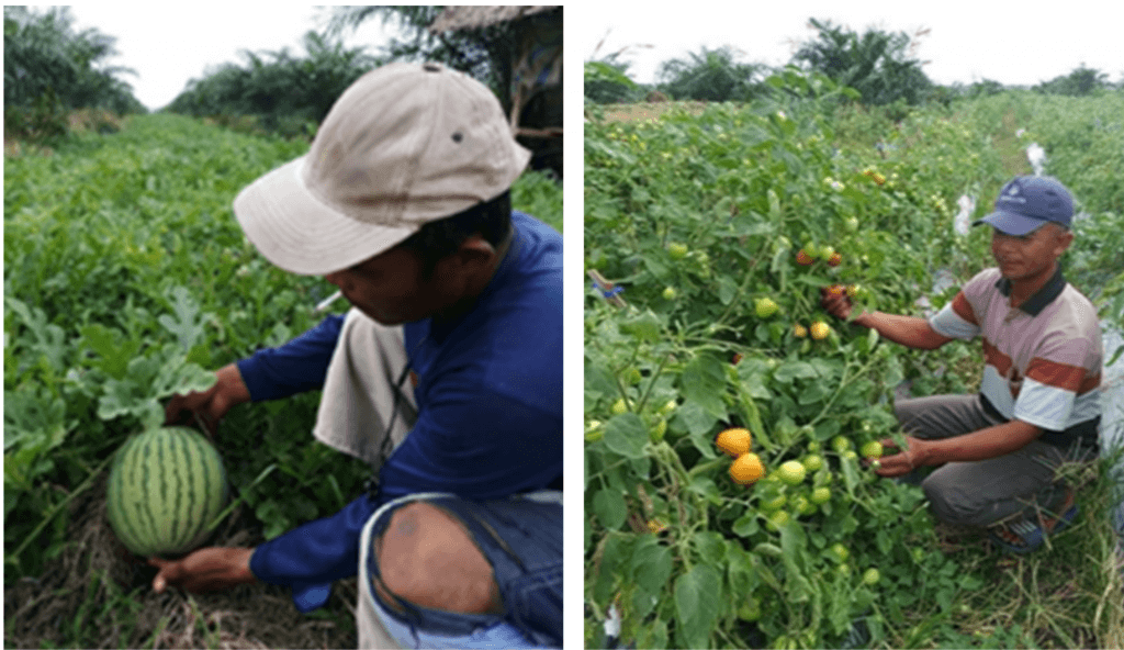 Watermelon & pepper for palm oil intercropping